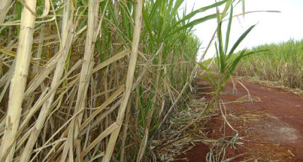 Aumenta estimativa de produção de cana-de-açúcar no Centro-Sul
