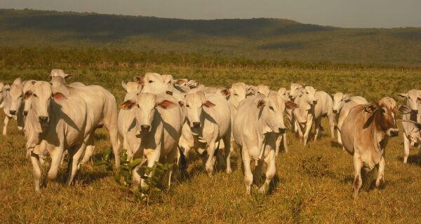 Semiconfinamento será alternativa para pecuaristas de Mato Grosso