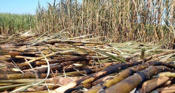 Embrapa estuda bagaço de cana e capim para produzir etanol celulósico