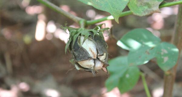Brasil deve perder 337 mil hectares de área de algodão na safra 2012/13