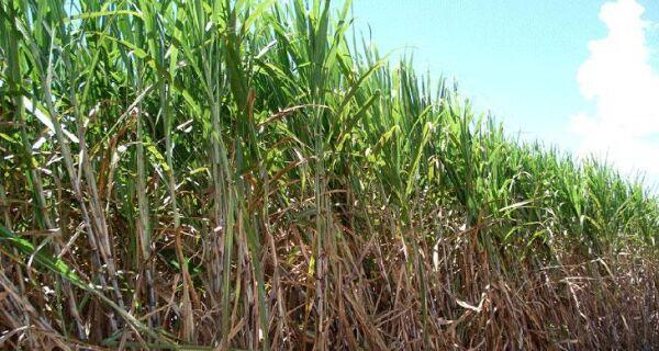 Mato Grosso do Sul moeu 8,4% mais cana nesta quinzena