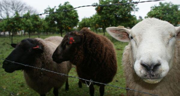 Evento em Mato Grosso do Sul deverá fomentar a produção de ovinos