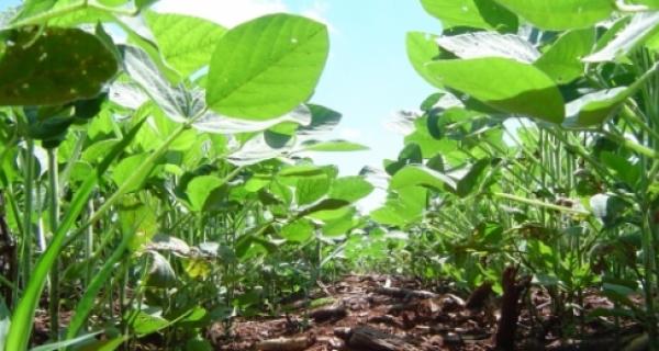 Em Fátima do Sul  produtividade da soja precoce será de até 20 sacas/hectare