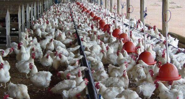 FAO alerta para risco de nova pandemia de gripe aviária no mundo