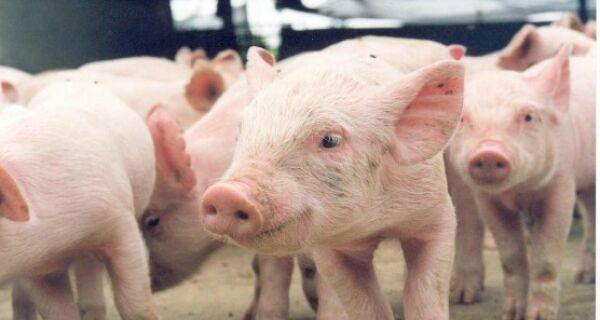 Bem-estar animal evita estresse em suínos durante a criação e no abate