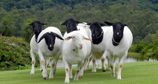 Grupo investe na produção de ovinos em MS