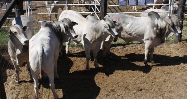 Agro-Pecuária CFM selecionou 180 touros Nelore com CEIP para leilão