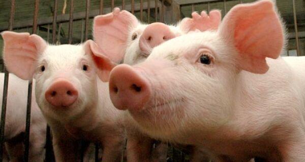 Brasil deverá receber certificado de zona livre da peste suína clássica para 14 estados e DF