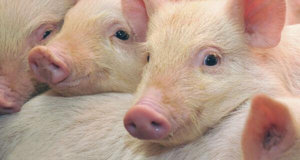 OIE reconhece 14 estados brasileiros e DF como zona livre de peste suína clássica