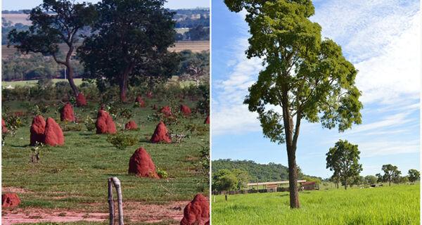 Recuperação de pastagens degradadas aumenta produtividade em até quatro vezes