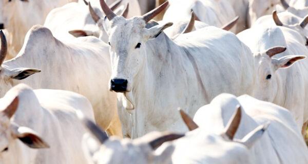 Brasil diversifica exportações de gado para a Turquia