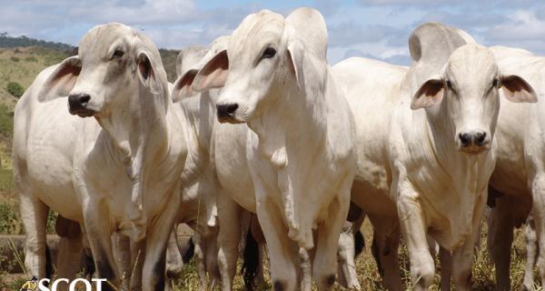 Pressão de baixa ganha força no mercado do boi gordo