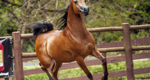 Cavalo Árabe reforça sua tradição na 18ª Expogrande Arabian Show