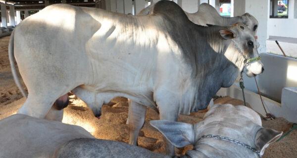 Animais lotam Parque de Exposições Laucídio Coelho durante a Expogrande