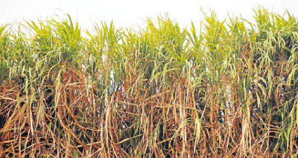 Mato Grosso do Sul produz 50,2 milhões de toneladas de cana