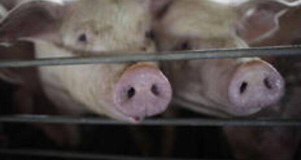 Operação Carne Fraca ainda reflete no mercado de suínos