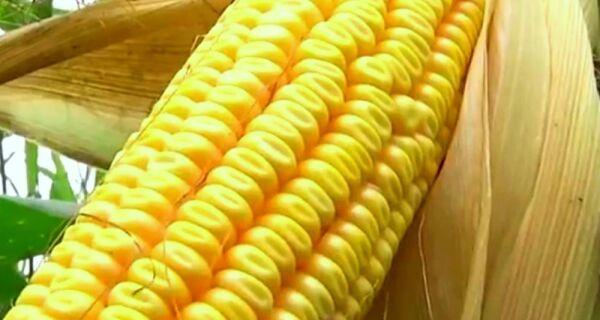 Colheita da segunda safra de milho chega a 41,5% da área cultivada em MS, aponta entidade