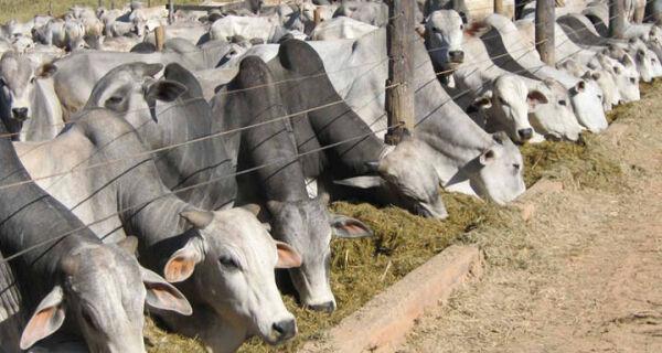Alta no preço do boi gordo deve durar até outubro