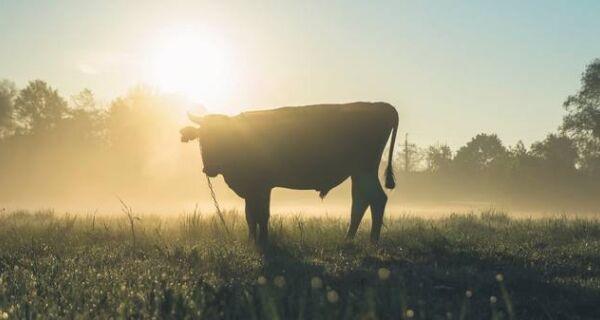 Preço do boi gordo subiu em agosto