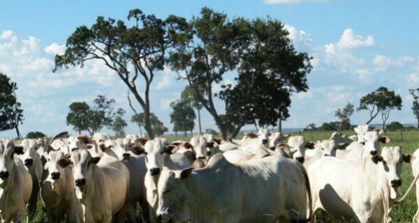 MS tem 5 cidades entre as 20 com maior rebanho bovino do país, aponta IBGE