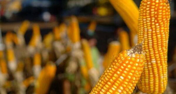 Preço do milho já subiu 12% em outubro