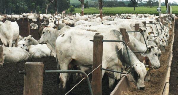 Confira os cuidados para oferecer milho ao gado de corte