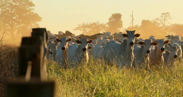 Produção de carne bovina em MS ultrapassa 800 mil toneladas