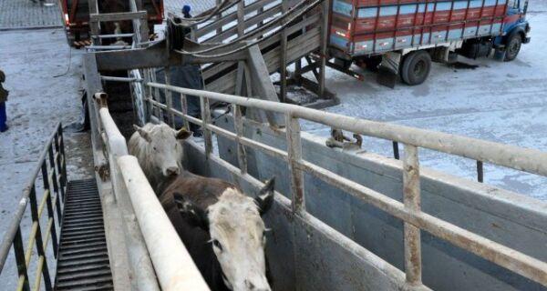 Brasil pode ser o maior exportador de gado vivo do mundo
