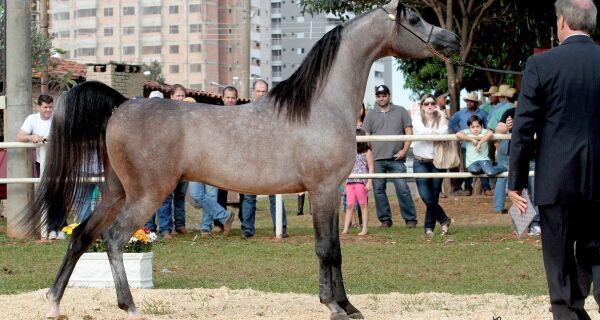 Expogrande Arabian Show 2018 vai mostrar a força do cavalo árabe no Estado