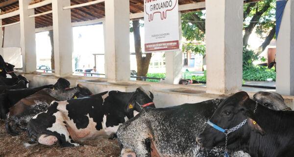Expogrande: Mais de 120 animais competem no ranking da raça Girolando