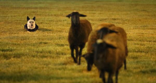2º Encontro de cães da raça border collie acontece neste domingo na 80ª Expogrande