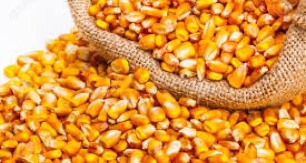 Milho: Preços recuam na maioria das regiões