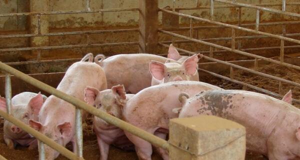 Preços estáveis e ritmo de negócios lento no mercado de suínos