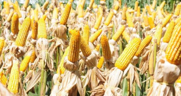 Cenário internacional mantém preço do milho firme