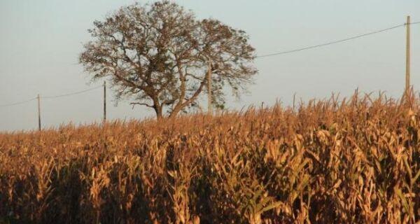 Estiagem derruba produtividade do milho safrinha pela metade em MS