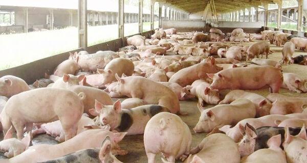 Nem mesmo o início do mês deu ânimo ao mercado de suínos