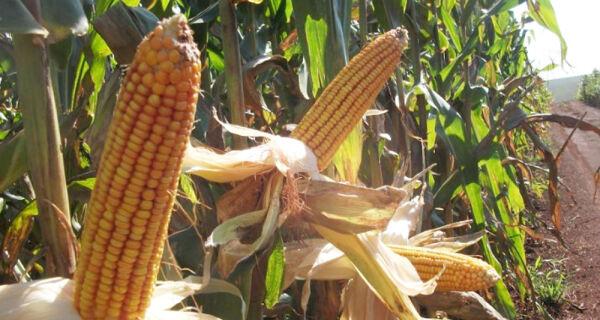 Preços do milho voltaram a firmar no mercado interno