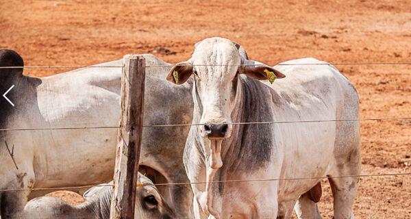 Mercado do boi segue pressionado