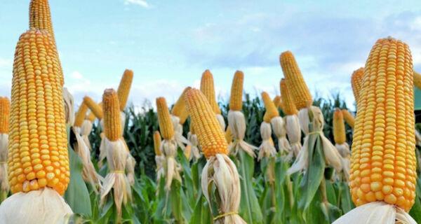 Preços do milho voltaram a firmar no mercado brasileiro