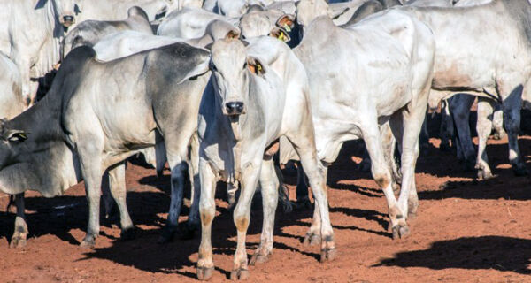Boa oferta mantém viés de baixa no mercado do boi gordo