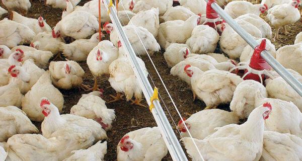No atacado, preço do frango tem alta na semana