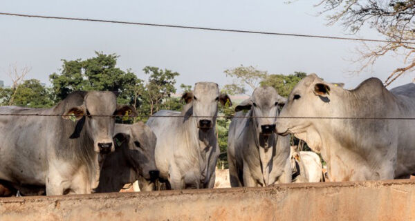 Mercado do boi gordo perdendo fôlego neste início de semana