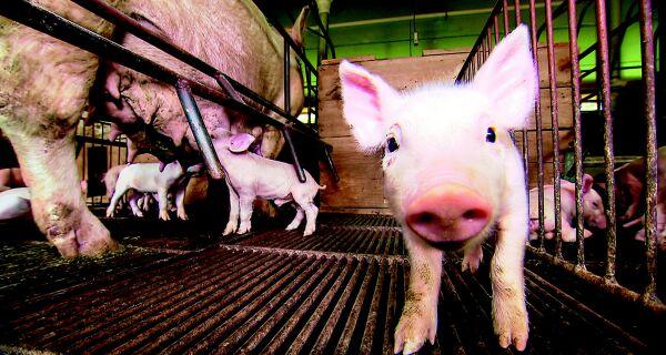 Criação de porcos usa alta tecnologia para garantir leitões de qualidade