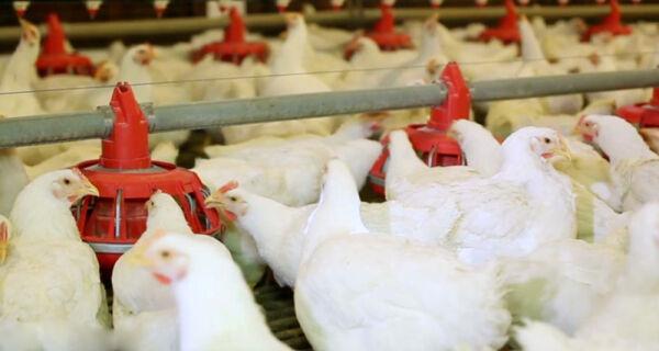 Cotações do frango reagem na granja e no atacado