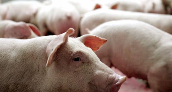 Greve dos caminhoneiros afeta o setor de suínos