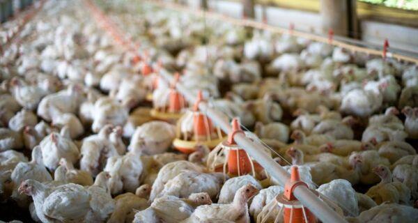 Indústria de aves estima mortalidade em 50 milhões de unidades
