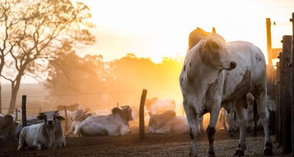 Mercado do boi gordo terminou a última semana estacionado