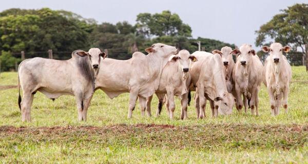 Mercado do boi gordo está sem liquidez no momento