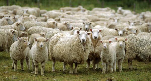 Pesquisa mostra que 12% dos brasileiros nunca comeram carne ovina