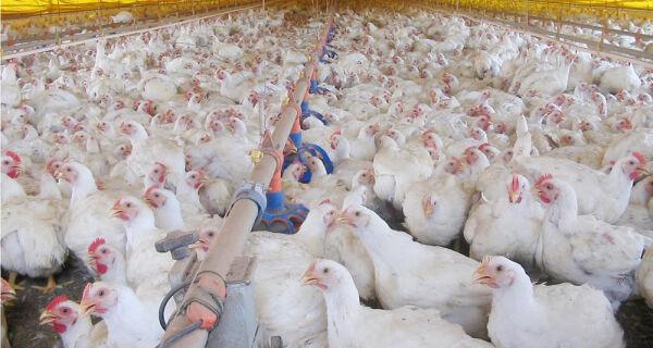 Publicação mostra a competitividade da cadeia produtiva de frango de corte